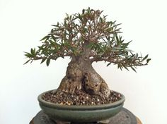 Ficus Nerifolia (Willow Leaf Fig) Shohin by Shane Martin
