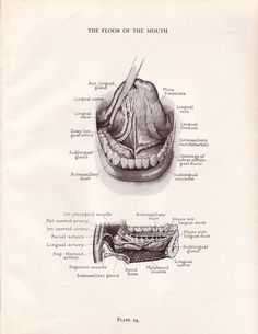 Vintage Dental Anatomy Print Human Mouth Teeth Jaw by AgedPage, $10.00