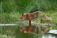 Fox, Selvagem, Natureza, Água