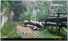 9 Moments When The Pandas On Chengdu's Panda Cam Were Too Cute To Handle