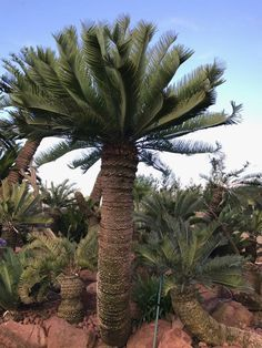 Cacti And Succulents, Planting Succulents, Cactus Plants, Tropical Gardens, Tropical Plants, African Plants, Sago Palm, Hardy Plants, Botanical Gardens