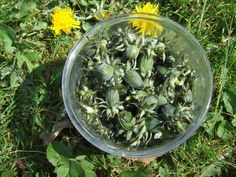 Wild edibles in Spring: Dandelion capers