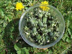 Wild Plant Forager's dandelion capers recipe