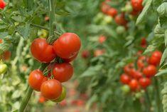 Tomatplanter i drivhus - 10 tricks til succes Tomato Fertilizer, Fertilizer For Plants, Types Of Tomatoes, Growing Tomatoes, Tomato Garden, Tomato Plants, Vegetable Garden, Coffee Grounds For Plants, Tomato Tree