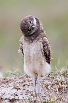 You look funny-burrowing owlet by Ron Bielefeld|Whistling Wings Photography