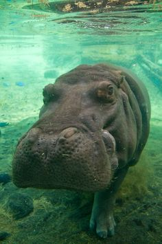 Hippo underwater by ~Paladin27