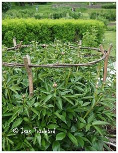 Peony Support Idea - Made from sticks and twigs. Just lovely, whimsical and just plain pretty!
