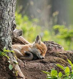 Adorable napping fox. #animals #cute