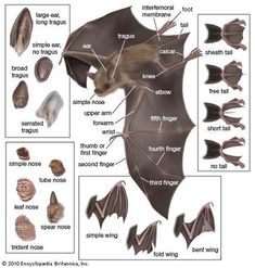 Isle of Wight Bat Hospital Interesting diagram showing the anatomy of a bat Mammals, Bat Anatomy, Animal Anatomy, All About Bats, Animals And Pets, Cute Animals, Bat Species, Fruit Bat, Monsters