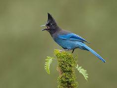 Стеллерова черноголовая голубая сойка (Cyanocitta stelleri)