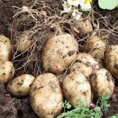 Do you want to grow potatoes. Well if you do then this is the ultimate information page about growing potatoes. If you want to grow your own crop of potatoes you need to check out this information.