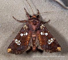 Rattlesnake-master Borer Moth - Papaipema eryngii