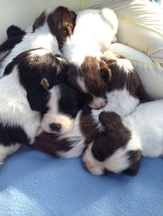 English Springer Spaniel males pictures | English springer spaniel puppies in wigan | Posot Class