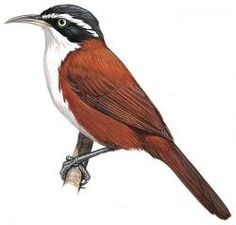Chestnut-backed Scimitar-babbler (Pomatorhinus montanus)