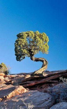Twisted tree in Moab, Utah