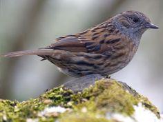 Accenteur mouchet Beautiful Birds, Animals, Houston, God, Garden, Birds, Small Birds, Wild Animals, Dios