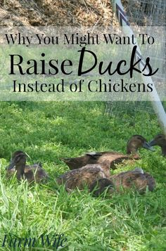 5 Birds (Besides Chickens) That Are Worth Raising | Backyard Poultry,  Poultry And Backyard