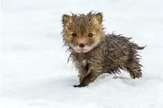 Füchse am Polarkreis: Perfekter Allwetterschutz © Ivan Kislov