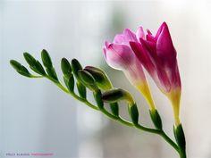 Fresia. #Flores#Plantas#Naturaleza.