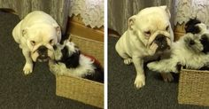 Lady the Deaf Bulldog Gets Pampered by Shih Tzu Puppy Maggie http://www.i-heart-pets.com/deaf-bulldog-gets-pampered-shih-tzu-puppy/