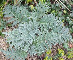 Cardoon, Apr 20. http://www.mandycanudigit.co.uk/#!big-leaves/cvhv