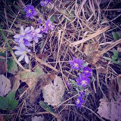 Kevät  Spring is coming  . . . . . . . . .  #kevät #spring #sinivuokko #instaspring #thisisfinland #visitfinland #ilovespring #flowers #flower  #petal #petals #nature #beautiful #love #pretty #plants #flowerstagram #flowersofinstagram #flowerslovers #flowerporn #botanical #floral #florals #insta_pick_blossom #flowermagic #instablooms #botanical #floweroftheday