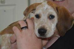 5 / 22    ***PUPPY ALERT*** Petango.com – Meet Waylon, a 2 months 3 days Coonhound, Redbone / Mix available for adoption in FAIRFAX, VA Address  4500 W Ox Road, FAIRFAX, VA, 22030  Phone  (703) 830-1100  Website  http://www.fairfaxcounty.gov/a nimalshelter  Email  FCPDPetResources@FairfaxCounty .gov