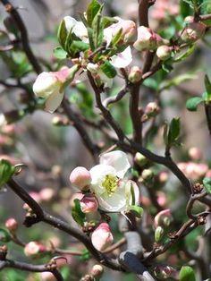 Chaenomeles speciosa 'Contorta' Flowering Quince from Quackin Grass Nursery