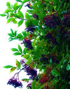 How to Grow Elderberries: 6 Steps - wikiHow