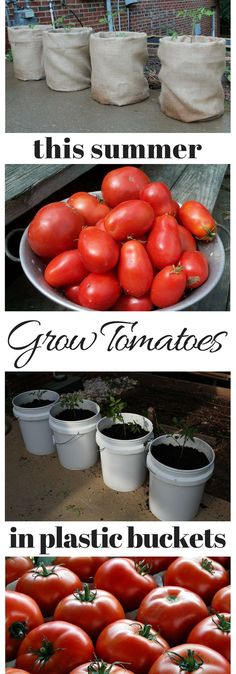 Grow tomatoes in plastic buckets, vegetable garden growing tomatoes, container gardening
