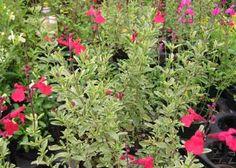 Salvia rosa, Salvia granadina, Salvia micro - sol, soporta sequía, -9ºC. 75cm, 3 en 1 m2