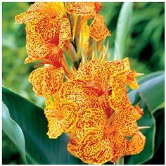 Buy 3 Canna Lily Mini Picasso for only Canna Lily Lucifer provides orange-red and yellow flowers. Canna Lily, Picasso, Canna Bulbs, Lily Bulbs, Plants Online, Blooming Plants, Bulb Flowers, Summer Garden, Spring Summer