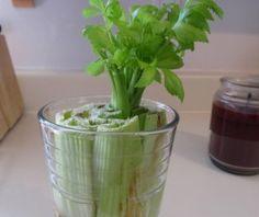 DIY: zelf selderij kweken