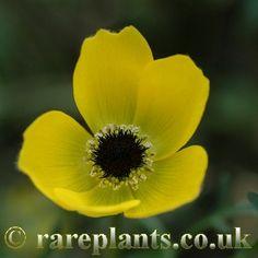 Anemone baissunensis