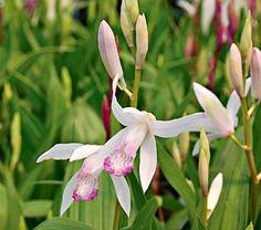 Bletilla striata Kuchibeni - White Flower Farm