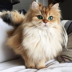 Cute Photogenic British Longhair Cat called Smoothie