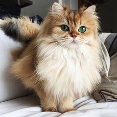 Cute Photogenic British Longhair Cat called Smoothie