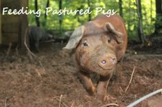 This is what we feed our pastured pigs.
