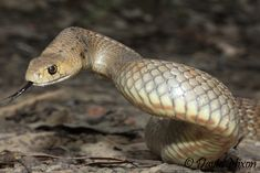 Australian Brown Snake - Known for their nervous disposition striking repeatedly when provoked. Bites from this species have caused human fatalities.