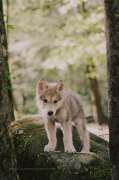 Ironwood Wolves, featured in our Spring 2014 issue, have a new wolf pup, wolf Wolf Photos, Wolf Pictures, Cute Dog Pictures, Beautiful Wolves, Beautiful Dogs, Animals Beautiful, Cute Baby Animals, Animals And Pets, Funny Animals