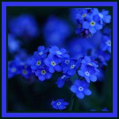 Myosotis conosciuto come Non ti scordar di me: il fiore della festa dei Nonni - Piante e fiori