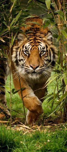 A female sumatran tiger approaches through the bamboo