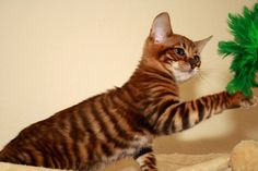 Photo from German Toyger