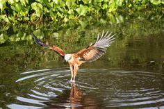 Gavião Carijó- (Rupornis magnirostris) -  Amazon Rainforest - Brazil