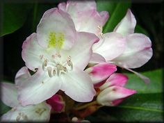 """The Rhododendron maximum, or """"great laurel,"""" is the state flower of West Virginia. It was selected on January 29, 1903, by the Legislature, following a vote by pupils of the public schools."""