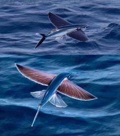 Photo : L'étrangeté des poissons volants