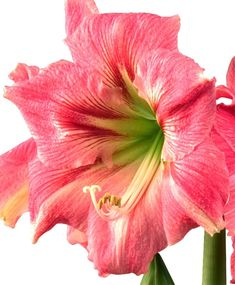 Amaryllis Candy Floss - Christmas Flowering Single Amaryllis - Amaryllis - Flower Bulb Index