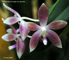 Moth-Orchid: Phalaenopsis speciosa