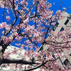 【_alohanagram_】さんのInstagramをピンしています。 《. あ、そうそう。 中学校の桜がもう咲いているんです。早くあったかくな〜〜れっ🌸🌸🌸🌸🌸🌸🌸🌸 ちなみに一週間前の写真です。 Cherry blossoms is in bloom already there. I'm feeling spring in advance🌷🐝 #中和田 #中和田中学校 #桜 #春 #cherryblossom #cherrytree #spring #flower #pinky #surprise #feeling #warm #sunny #girls #sky #happylife #lovely #cutie #pink #japan #japanspitz》