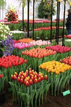 Que bonitos los tulipanes